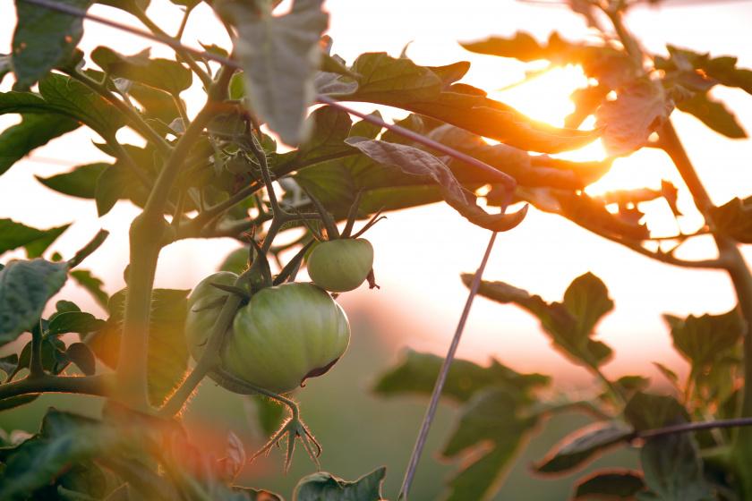 Aurinko siintää puutarhan vihreiden lehtien läpi